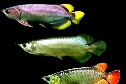 Jenis Ikan Arwana Yang Populer Dipelihara oleh Orang indonesia