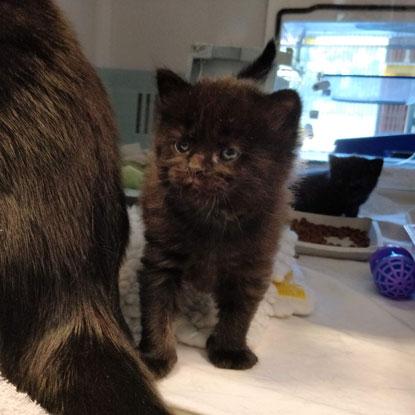Black kitten Apple