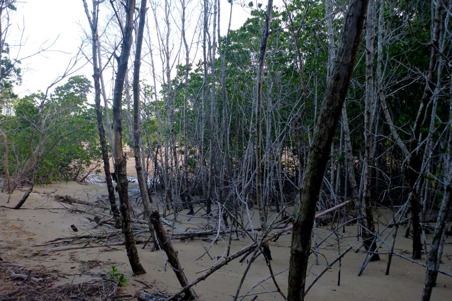 Hydrogen sulfide killed mangroves