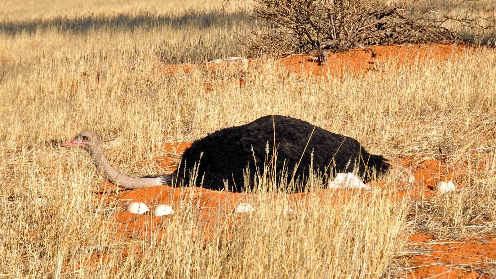 An ostrrich near her eggs.