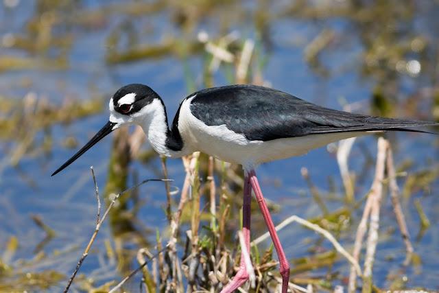 Black-headed Stilt - Lust Road Wildlife Drive, Florida
