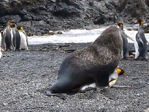 http://www.bbc.com/earth/story/20141117-why-seals-have-sex-with-penguins