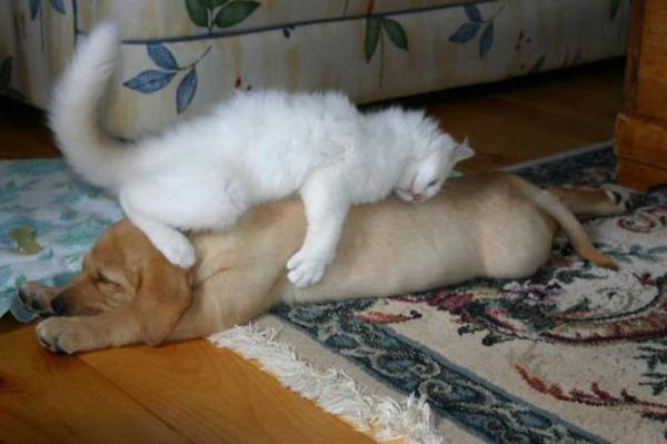 """21 khoảnh khắc đáng yêu khi cún cưng an giấc bên """"bạn thân"""" mèo"""