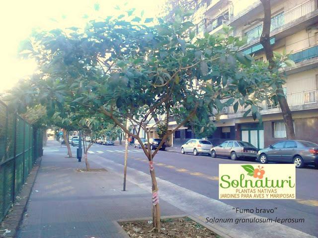 Fumo Bravo Solanum granulosum-leprosum en el Arbolado Urbano de la ciudad de Buenos Aires