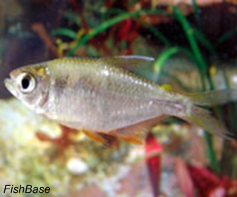 Savage Tetra, Hyphessobrycon Savagei (Bussing, 1967)