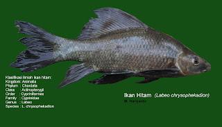 Ikan hitam (Labeo chrysophekadion)