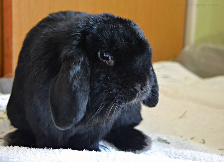 special needs rabbit adoption, lopped ear
