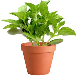 4 Jenis Tanaman Herbal Sebagai Tanaman Hias Yang Mudah Perawatannya
