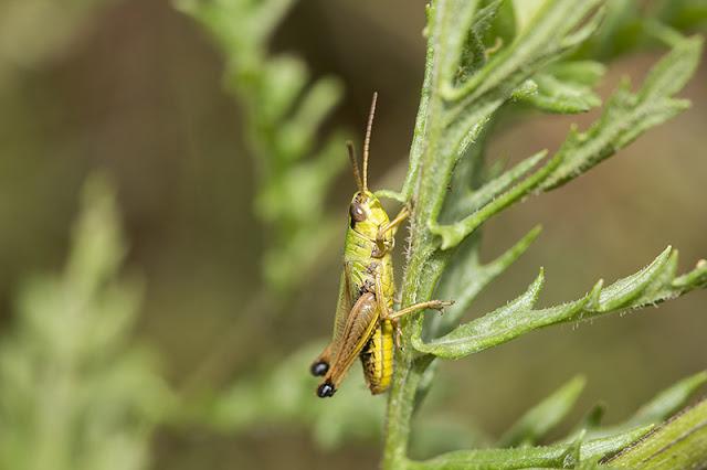 Meadow Grasshopper (?)