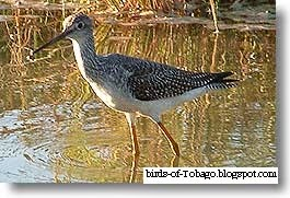 Lesser Yellowlegs (Tringa flavipes) Birds of Tobago