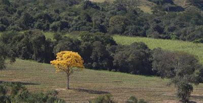 O ipê amarelo no meio do campo arado. (Publicado originalmente no Facebook em 03 de agosto de 2015)