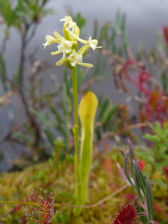 Platanthère claviforme - Habénaire claviforme - Platanthera clavellata