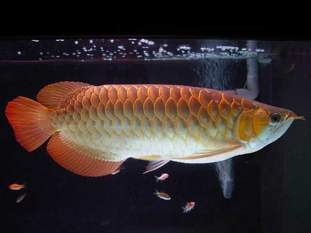 Gambar Ikan Arwana Golden Red yang Cantik Harga Murah