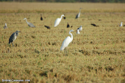 Agró blanc (Egretta alba)