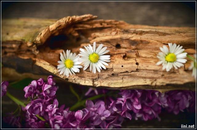 ảnh hoa trắng mọc trên thân gỗ đẹp