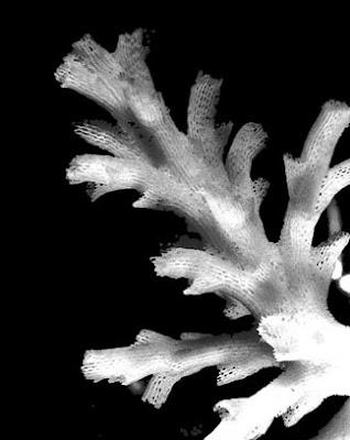 koralit Acropora Awi