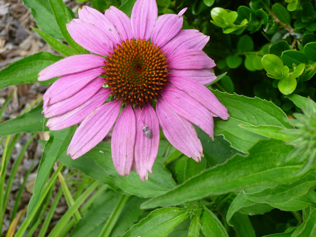 Echinacea purpurea, purple coneflower, June 2015