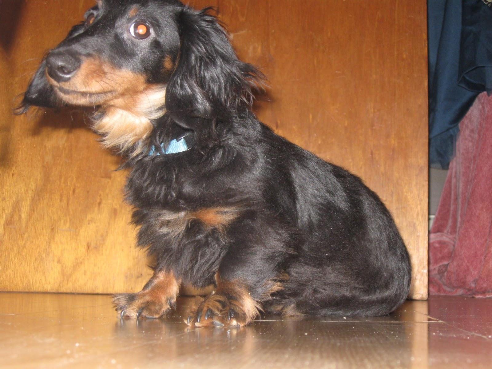 Cute Dogs Dachshund Dog