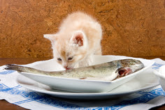Kitten Eating Fish