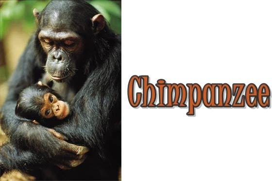 CHIMPANZEE     : How to Avoid a Chimpanzee Attack