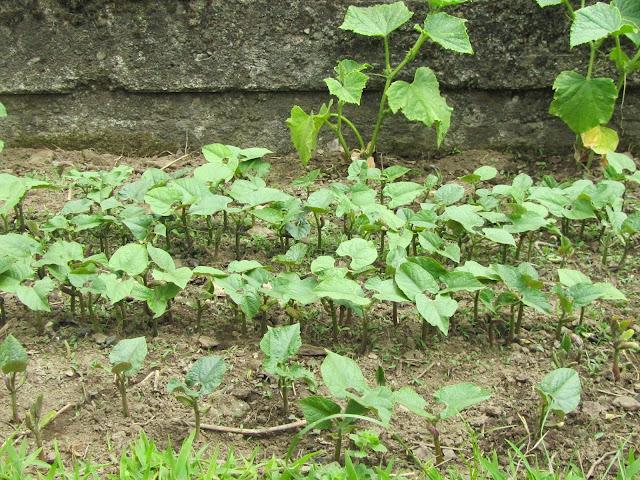 Piantagione di fagiolini