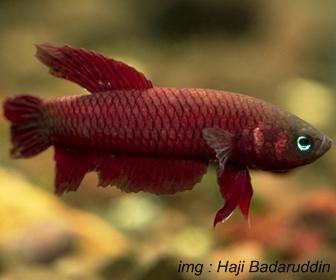 Jenis Ikan Cupang Spesies Betta Tussyae