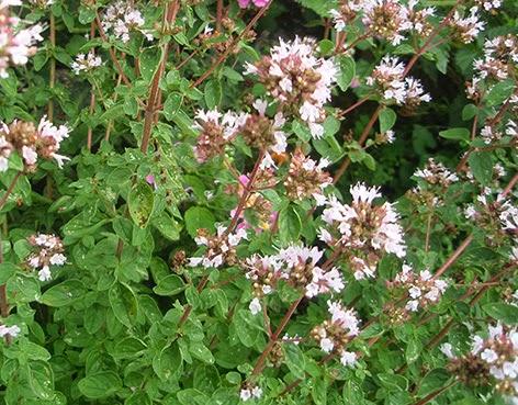 Orégano (Origanum vulgare)de flor blanca