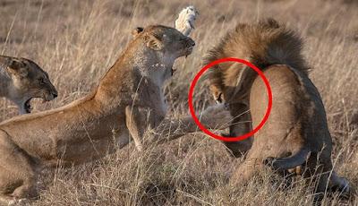 Pertarungan singa betina vs jantan