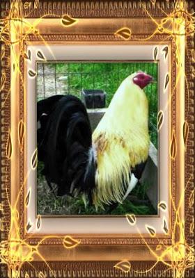 gallo giro