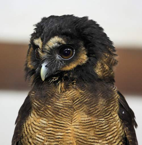 Indian birds - Image of Brown wood owl - Strix leptogrammica
