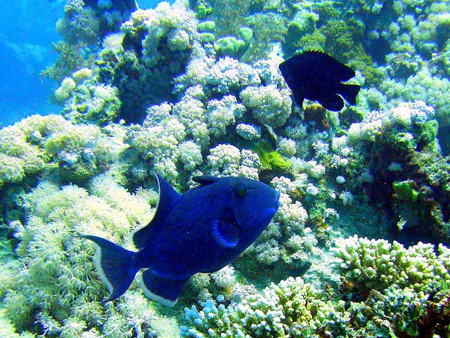 blue triggerfish, red sea, egypt