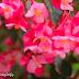 Flor de Begonia.