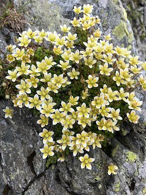 [Saxifragaceae] Saxifraga bryoides – Mossy Saxifrage (Sassifraga brioide)