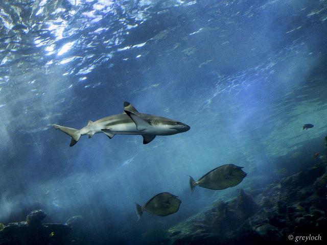 attaque-de-requin-etats-unis-nageur-mort