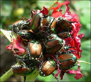 how to catch japanese beetles