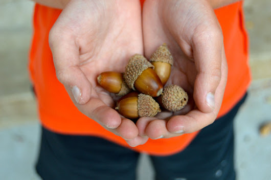 Toad's Treasures: Real Acorns for your Fall DIY Decor