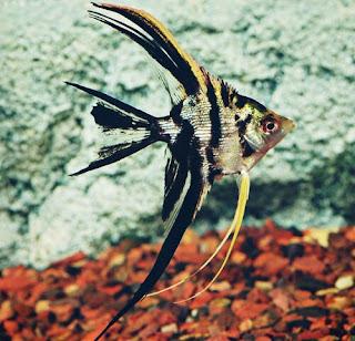 Jenis Ikan Manfish Paling Populer dan Harganya Terbaru