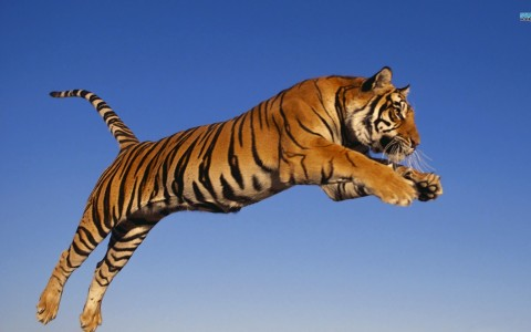 Animal Zoo Life: |Tiger pics|Tiger pix | Tiger pictures