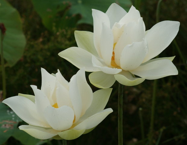 Funny image collection beautifull lotus flower pictures you have truly captured the essence and beauty of the lotus and lily flowers i would love to purchase some of your images mightylinksfo