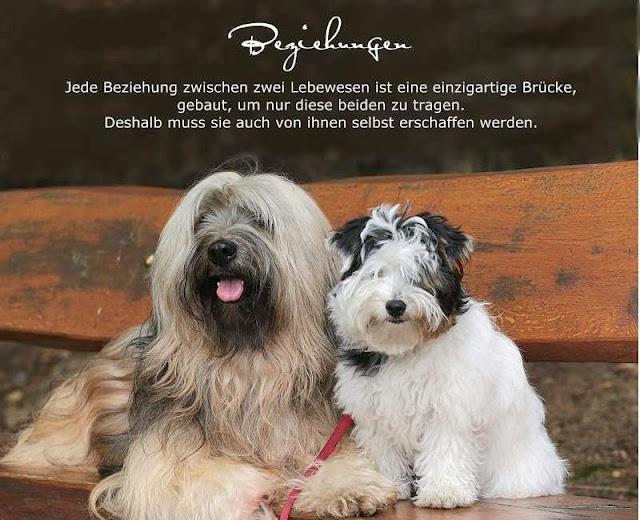 Tibet Terrier Chiru und Biewer Yorkshire Terrier Lotta  sind dicke Freunde