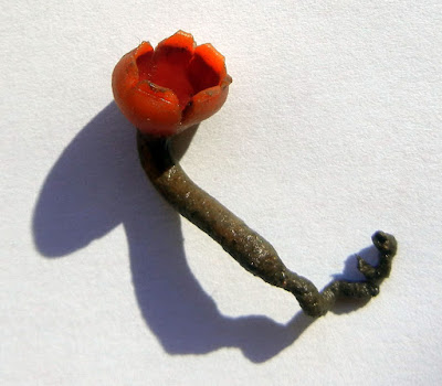 red fungus, Microstoma protractum early spring
