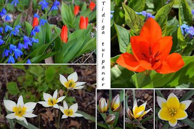 Tulipa praestans, Tulipa turkestanica, Tulipa tarda