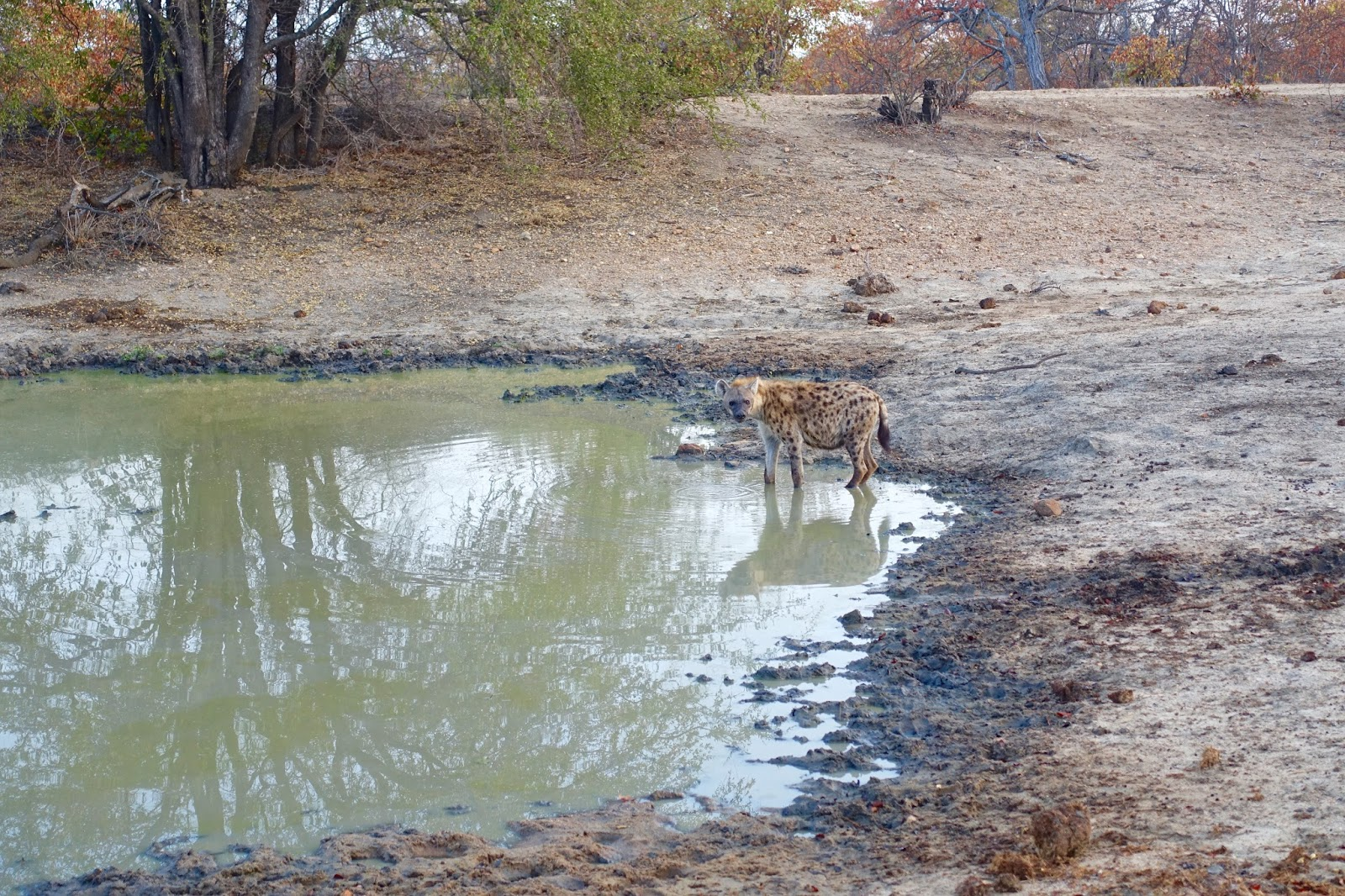 hyena at watering hole