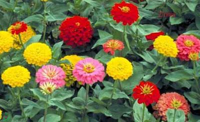 zinnia flower, zinnia