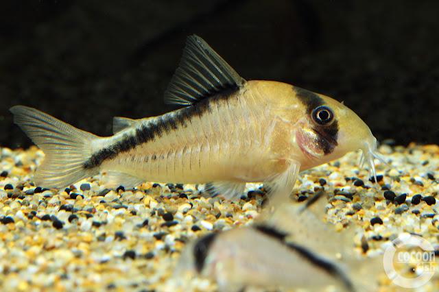 Corydoras sp. Rio Icana