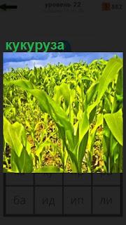 на поле выращивают кукурузу, початки еще не готовы
