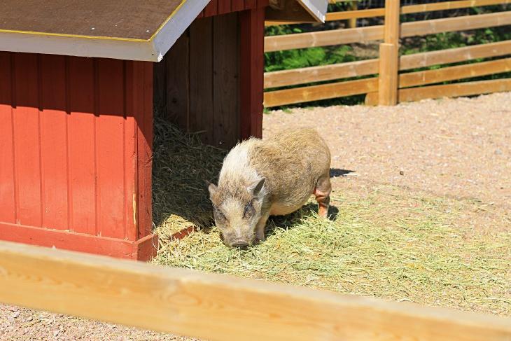 kiviniityn eläinpiha, kotieläinpiha, kotieläin, minipossu, mini piggy
