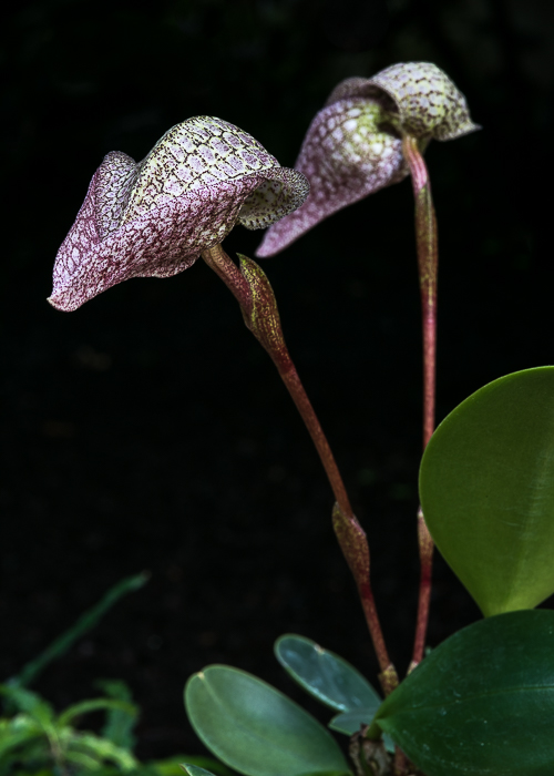 Bulbophyllum arfakianum ABG 20050050