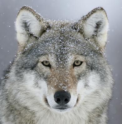 Serigala, Fakta Unik Serigala, Fakta Serigala, Informasi tentang Serigala.