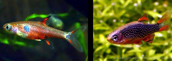Small Aquarium Fish Species